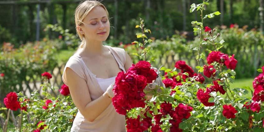 Jak pielęgnować róże?