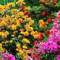 Azalie wielkokwiatowe