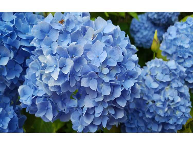 Nawóz barwiący do niebieskich hortensji - Agrecol 250g
