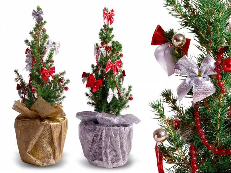 Choinka Świąteczna Żywa MINI Świerk biały