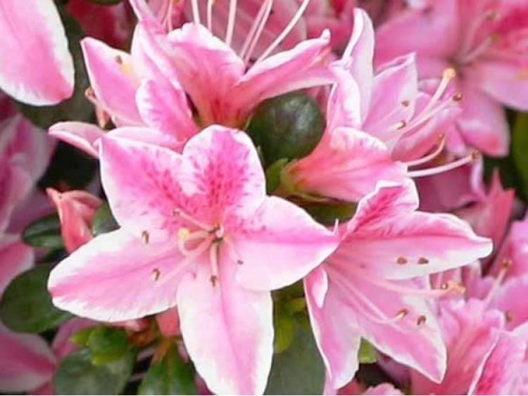 Azalia japońska Kermesina Rose
