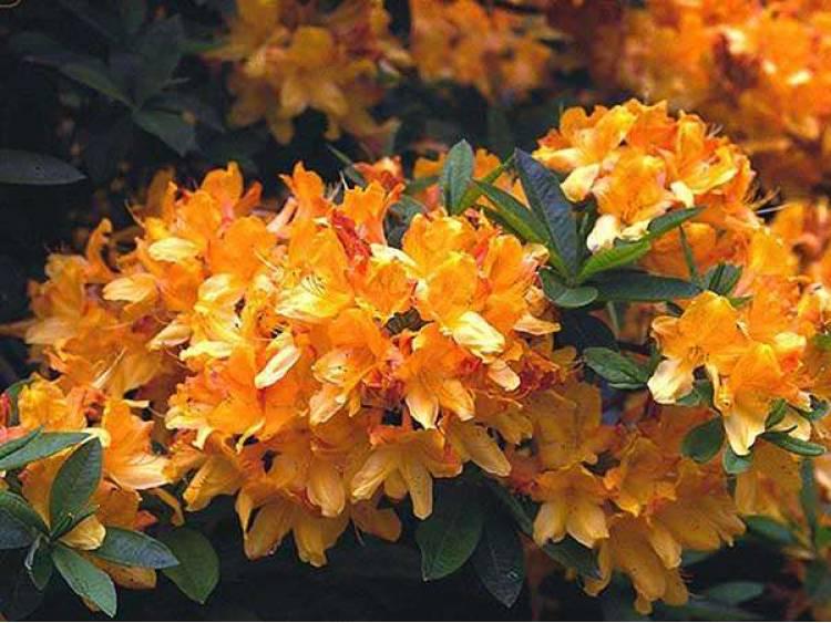 Azalia wielkokwiatowa Christopher Wren