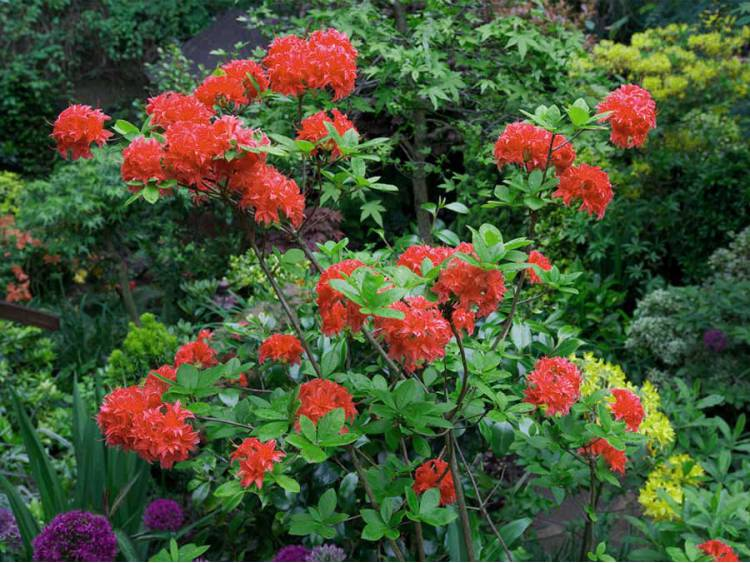 Azalia wielkokwiatowa FeuerKopfen