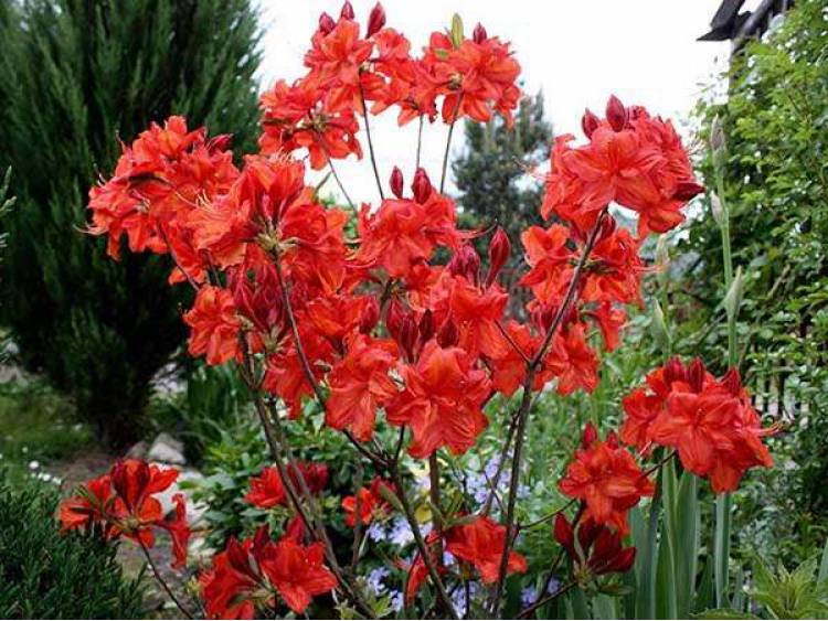 Azalia wielkokwiatowa 'Feuerwerk'