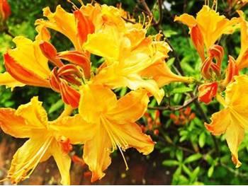 Azalia wielkokwiatowa Golden Lights