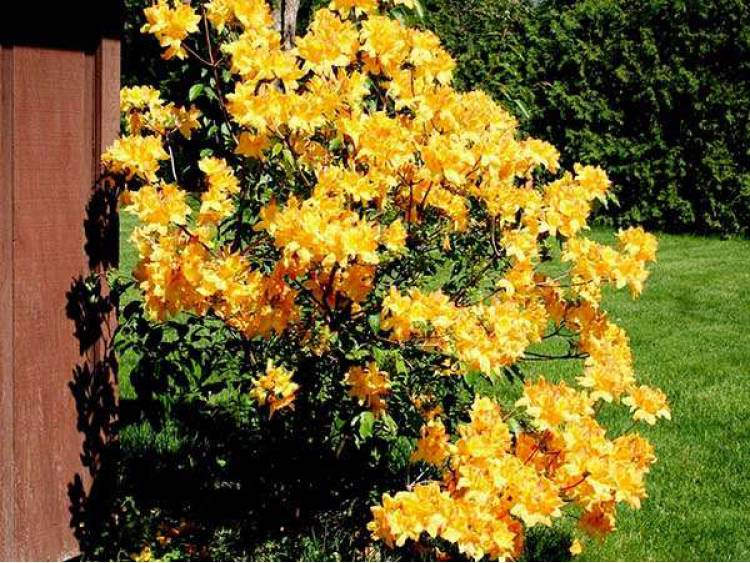 Azalia wielkokwiatowa Golden Lights