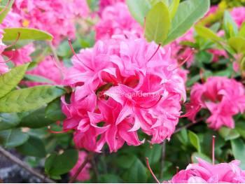 Azalia wielkokwiatowa Homebush
