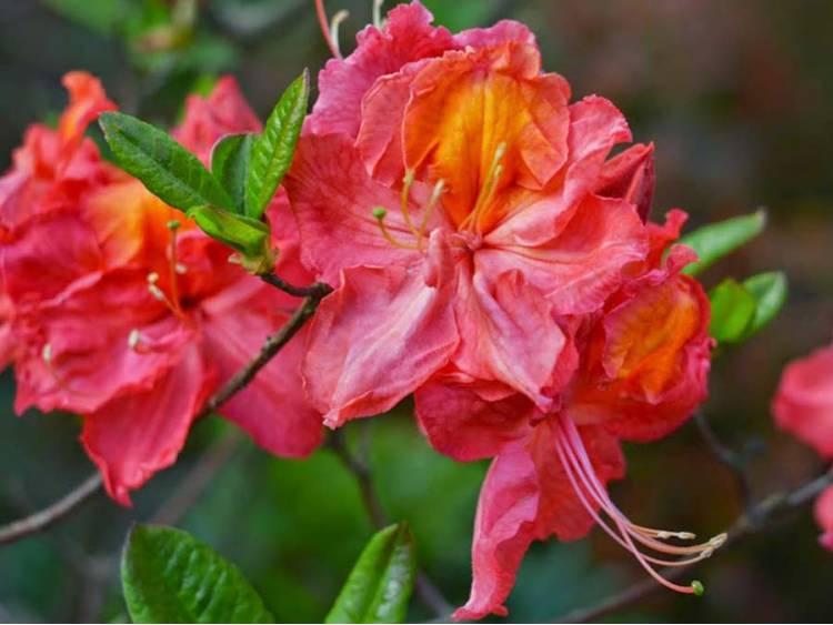 Azalia wielkokwiatowa 'Juanita'