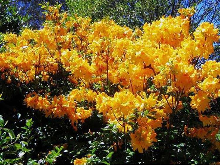 Azalia wielkokwiatowa Limetta