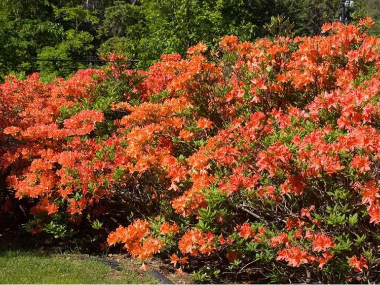 Azalia wielkokwiatowa Mandarin Lights