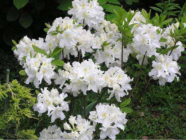 Azalia wielkokwiatowa Oxydol