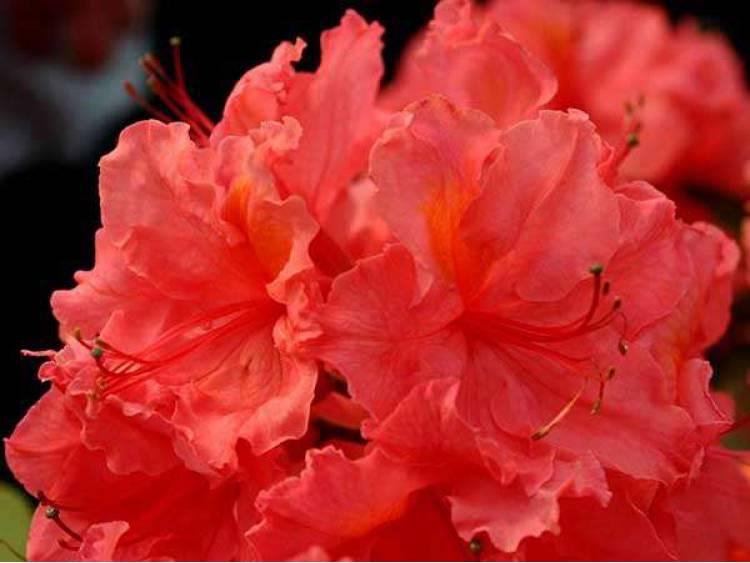 Azalia wielkokwiatowa Sarina