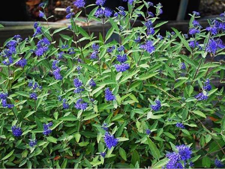 Barbula Heavenly Blue