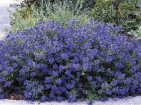 Barbula klandońska Kew Blue