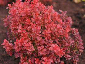 Berberys Thunberga Coral ®