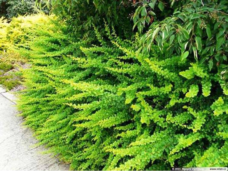 Berberys Thunberga Green Carpet