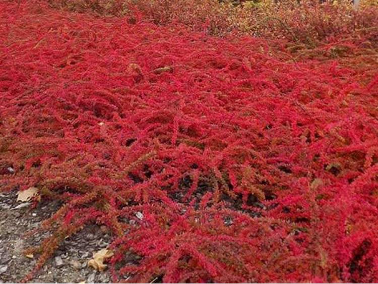 Berberys Thunberga 'Red Carpet'