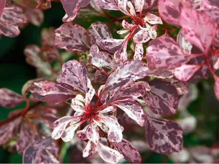 Berberys Thunberga Rose Glow