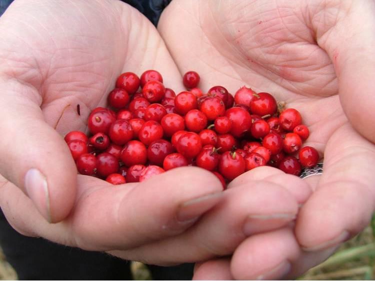 Borówka brusznica Red Pearl