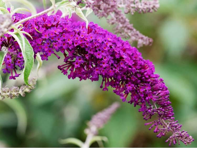 Budleja Dawida Nanho Purple MOTYLI KRZEW