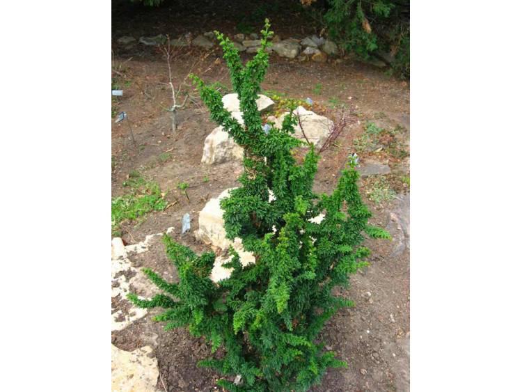Cyprysik tępołuskowy Chirimen