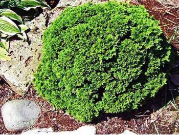 Cyprysik groszkowy Pygmaea
