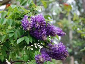 Glicynia amerykańska Longwood Purple