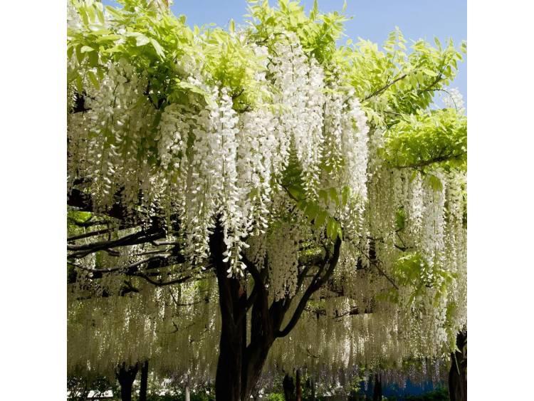 Glicynia kwiecista Shiro-noda
