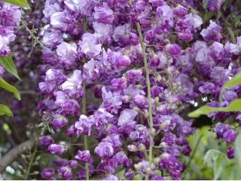 Glicynia kwiecista Violacea Plena