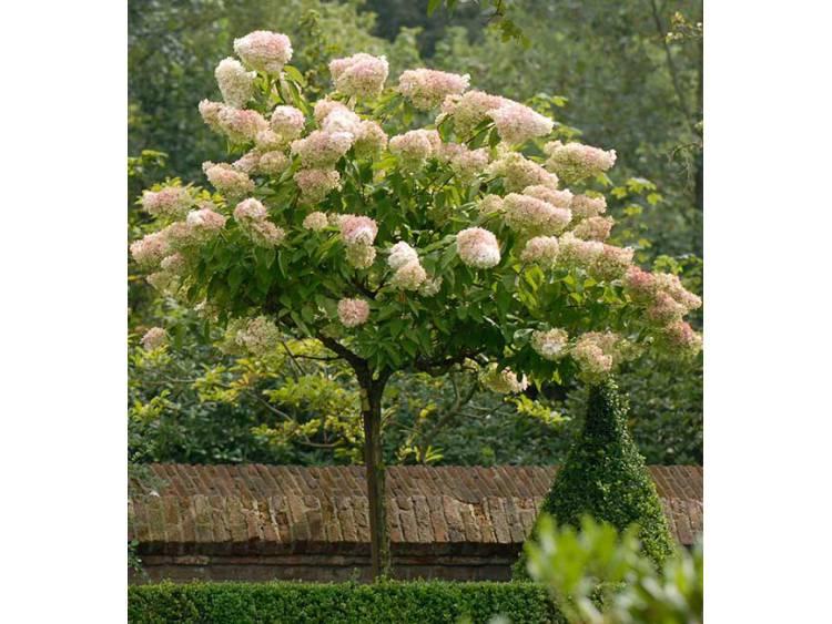 Hortensja bukietowa Grandiflora