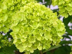 Hortensja bukietowa Little Lime ® 2-letnia P9