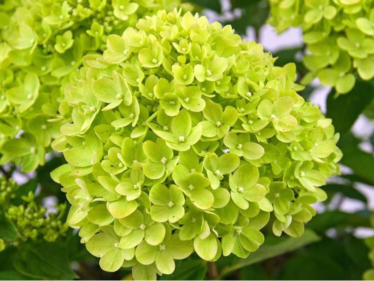 Hortensja bukietowa Little Lime ®