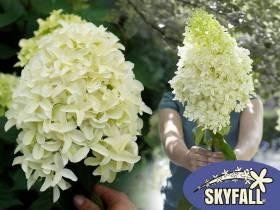 Hortensja bukietowa Skyfall ® NOWOŚĆ