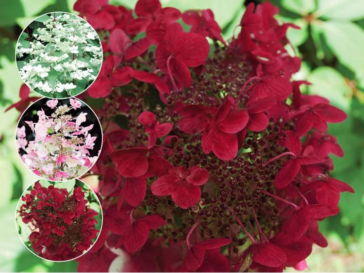 Hortensja bukietowa Wim's Red ®