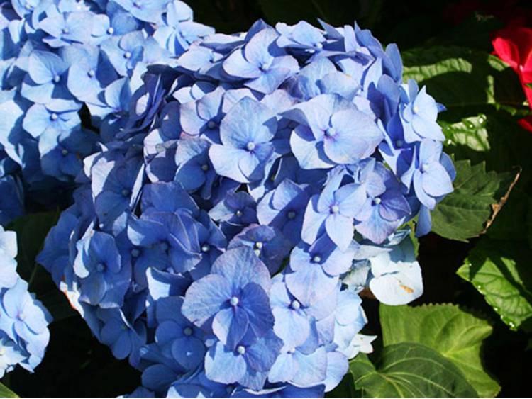 Hortensja ogrodowa Early Blue