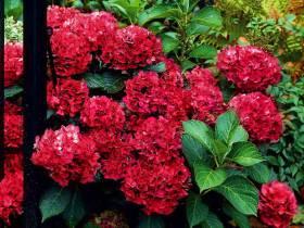 Hortensja ogrodowa Hot Red