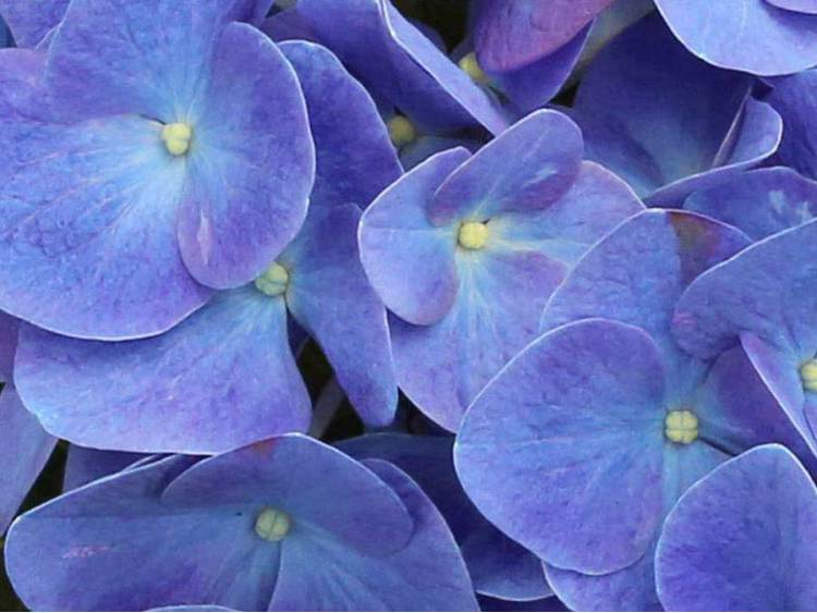 Hortensja ogrodowa Jip Blue