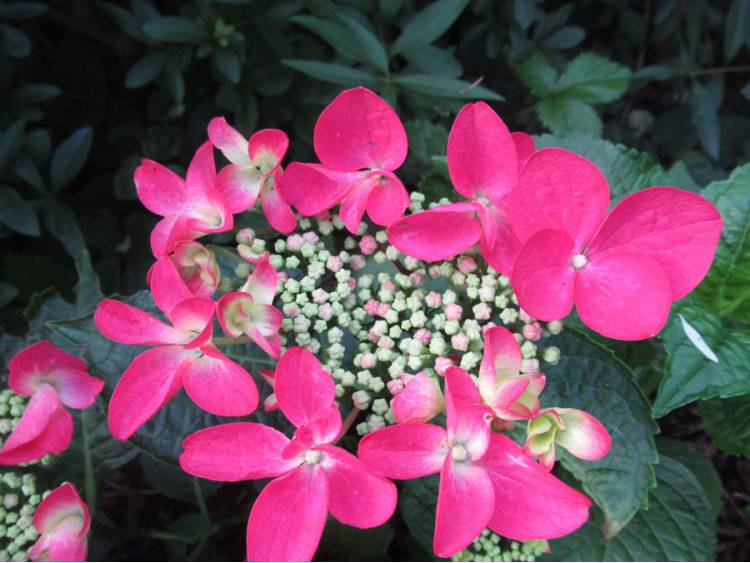 Hortensja ogrodowa Rotschwanz