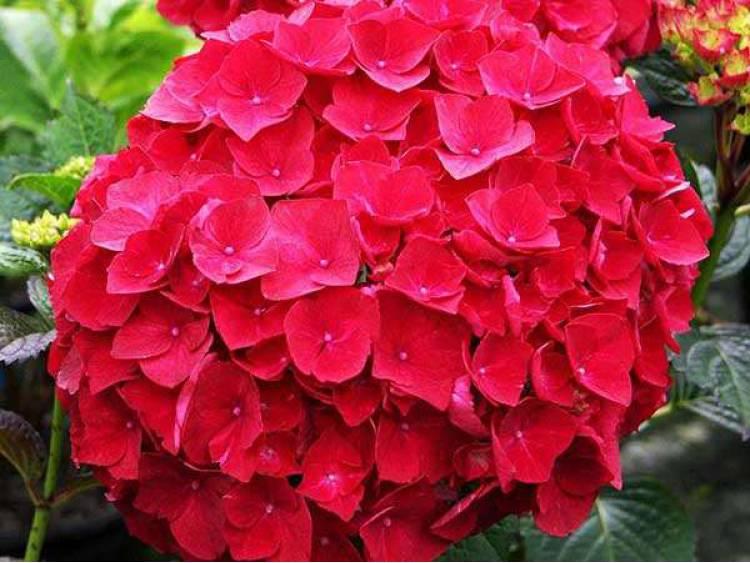 Hortensja ogrodowa Royal Red