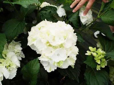 Hortensja ogrodowa 'Schneeball'