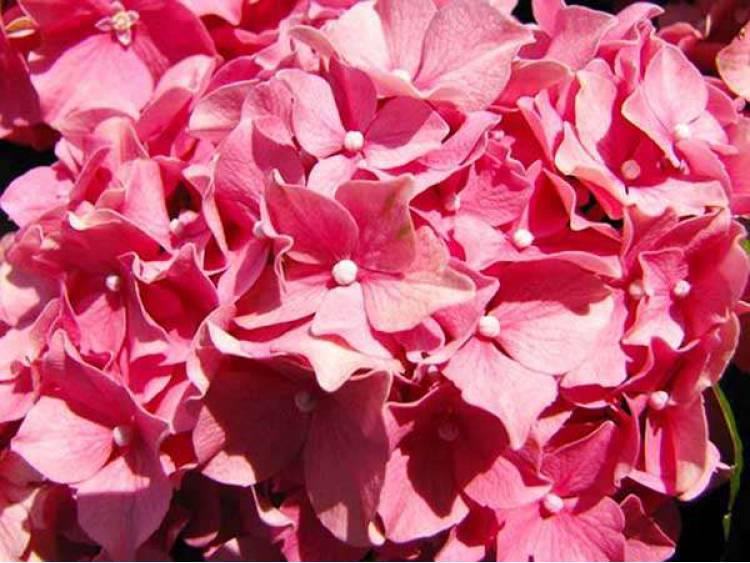 Hortensja ogrodowa Style Pink