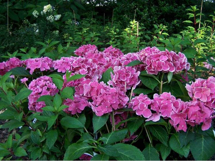 Hortensja ogrodowa Tivoli Rot