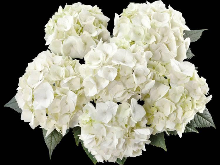 Hortensja ogrodowa 'Vanilla Sky'