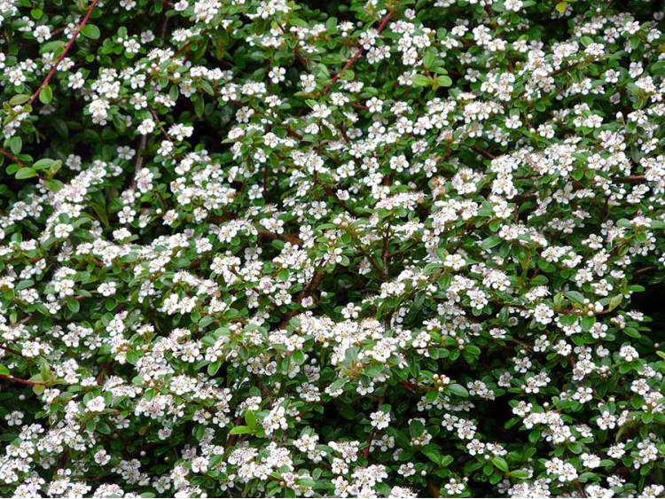 Irga p o ca streib 39 s findling zimozielona okrywowa sadzonki - Cotoneaster dammeri green carpet ...