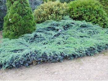 Jałowiec Blue Carpet