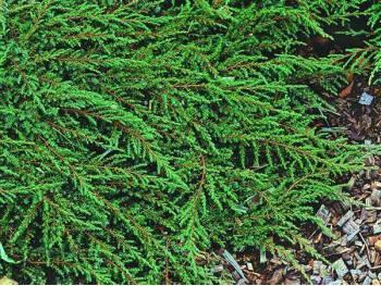 Jałowiec płożący Green Carpet