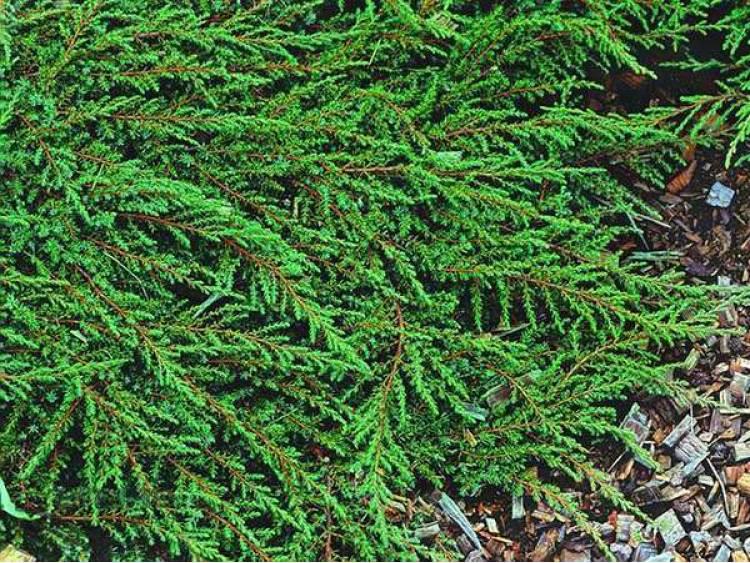 Jałowiec płożący 'Green Carpet'