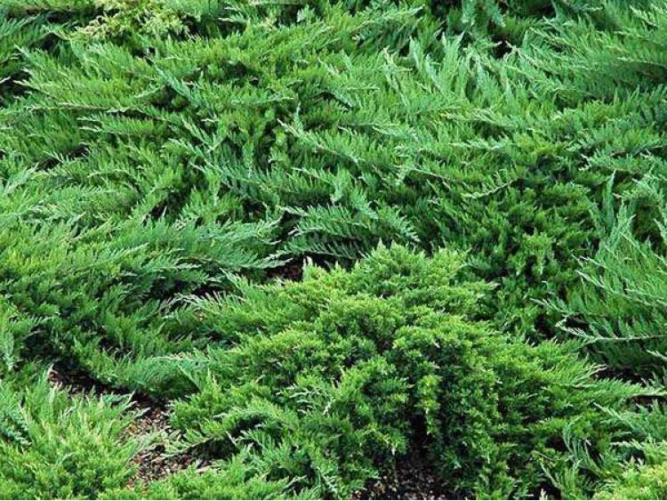 Jałowiec sabiński Tamariscifolia