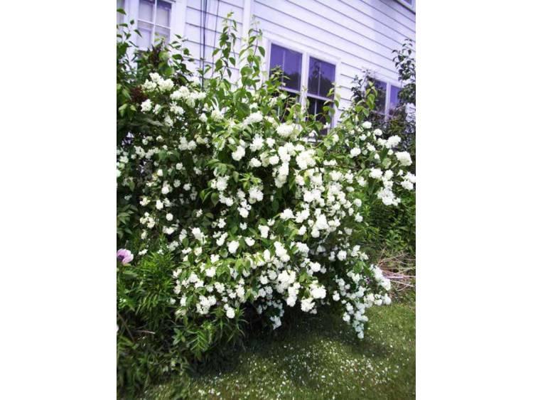 Jaśminowiec Bouquet Blanc