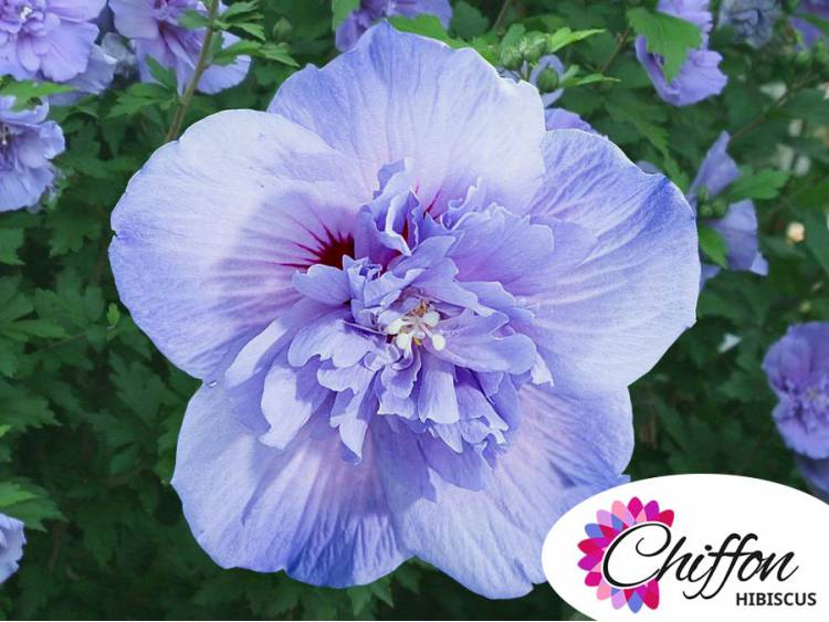 Ketmia syryjska Blue Chiffon ®